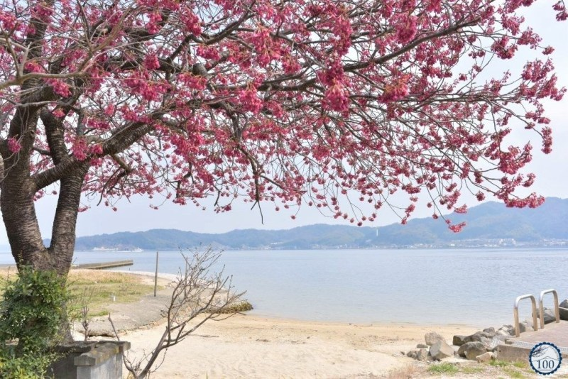 First cherry blossom in Amanohashidate.