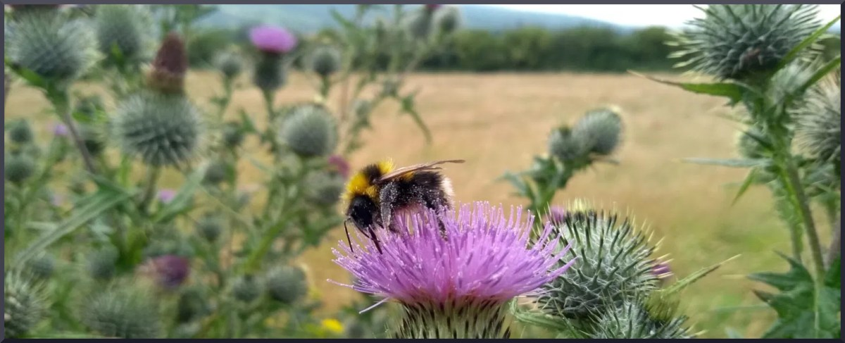 Bumble bee on thistles