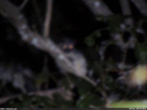 দলিয়ান পাড়ার কাছে বনবিড়ালের ঝাপসা অবয়ব দেখা যাচ্ছে