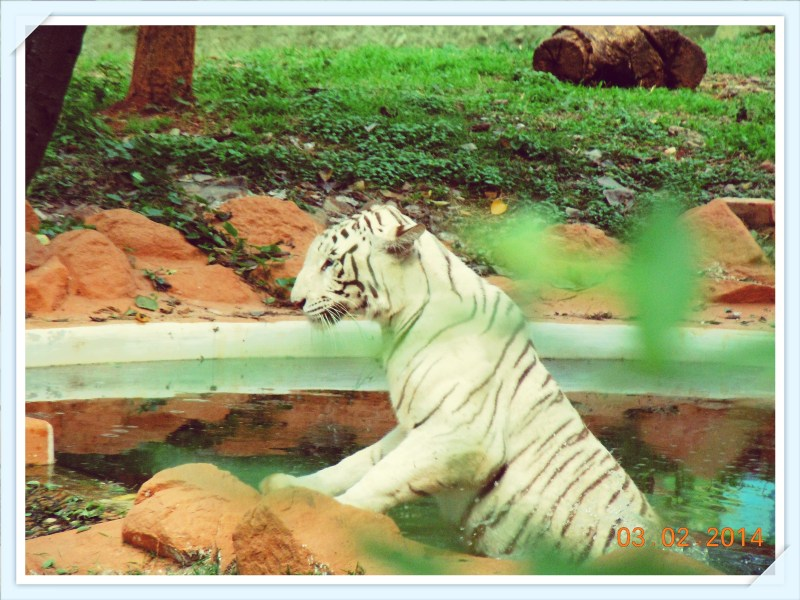 The White Tiger Taking a Dip