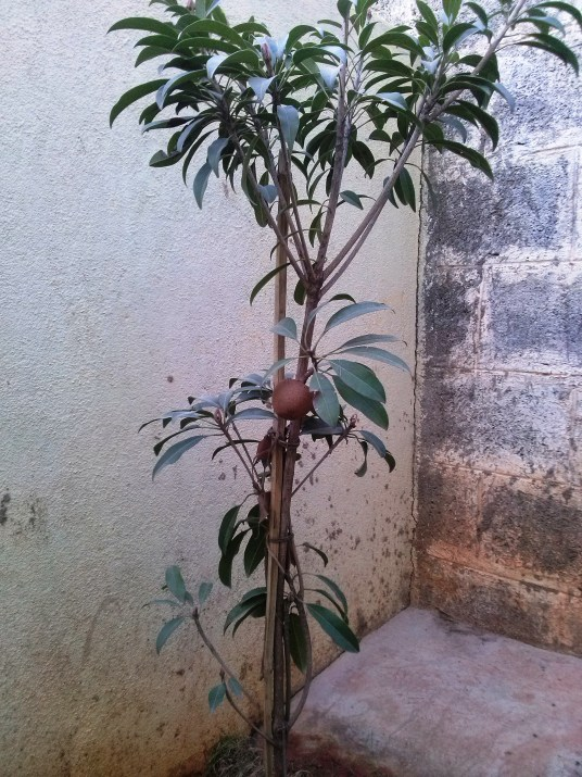 Our chikoo tree