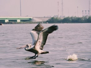 A pelican takes off