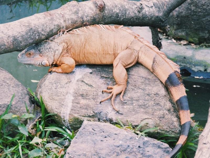 The green iguana that turned orange