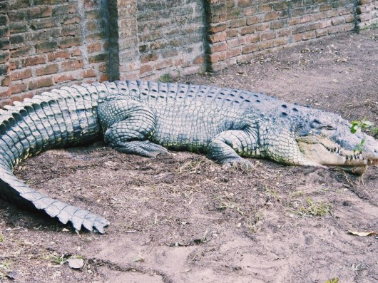 Jaws the salt water crocodile