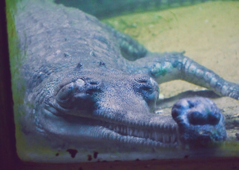 The grinning gharial