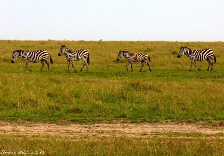 Zebra crossing Savanah grasslands