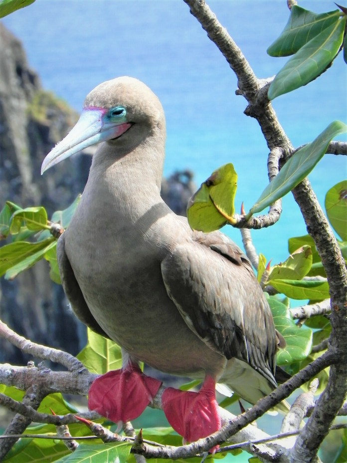 Red-footed Atobá