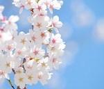仙台の桜の名所!お花見に人気の公園と開花時期や屋台情報