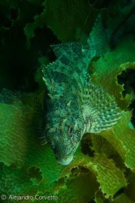 Kelpfish Bay of Islands