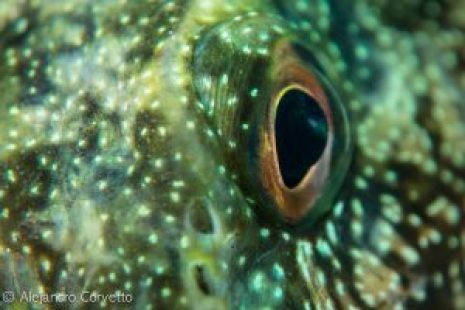 Ojo de un Kelpfish