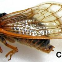 Cicadas: The Sound Of Summer