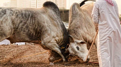 NK-Bull-Fight-16