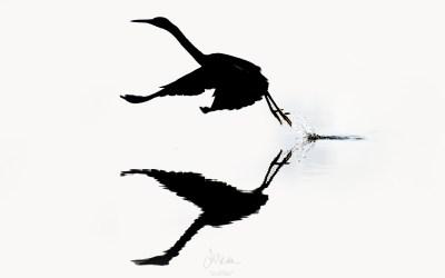 Great-billed Heron… taking off!!!