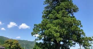 柴尾の一本杉