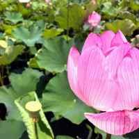 蓮池ハスまつり ⇒ 見頃のハスの花を楽しむイベント