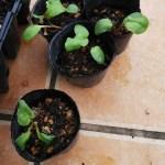種からルバーブ栽培!発芽して成長中~2年後に自家製ルバーブジャムを食べる日は来るのか・・・