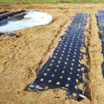 玉ねぎの植え付け完了!植え付け後の管理は?適切な追肥と水くれで肥大を促そう!
