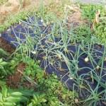 ホーム玉ねぎ(オニオンセット)の2回目の追肥遅れ・・・トンネル栽培で成長を促せるのか