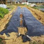 春じゃがいも植え付け!深植え、逆さ植えって何!?植え方で収穫量は変わる