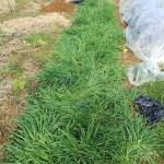 もち麦(キラリもち)の栽培~栽培方法と注意点