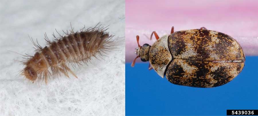 Fs1181 Carpet Beetles Rutgers Njaes
