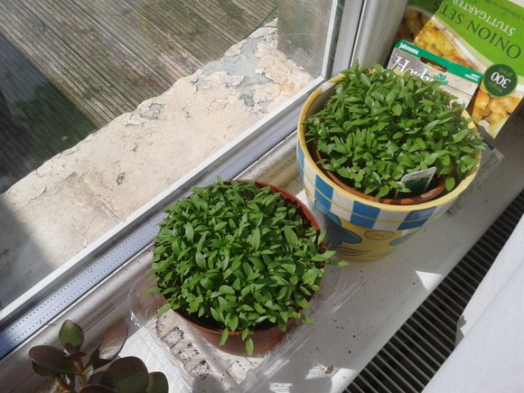 Our Parsley and Basil as they were in April
