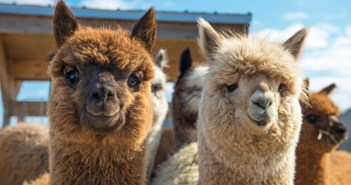 alpaca farms in nj