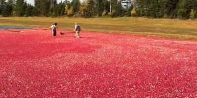 Cranberry Harvest turns Farmington red video