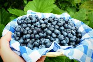Jersey Blueberries: You'll Miss Them When They're Gone