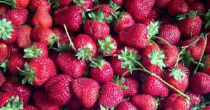 Pick-Your-Own Strawberries: The Essential Guide to Spring's First Fruit