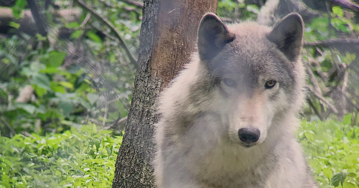 Where Wolves (Still) Howl in New Jersey