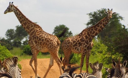 North West Uganda Tour, Uganda Safari Tours, 12 days uganda safari tour