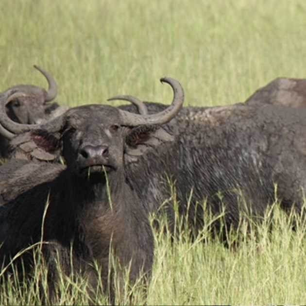 uganda safari tours , wildlife safaris, Wildlife Safari Tours, western uganda safari
