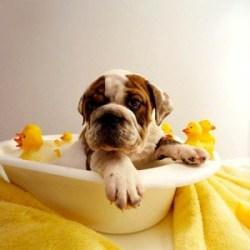 bulldog-bath