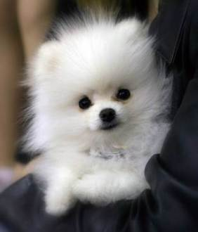 Pomeranian-18