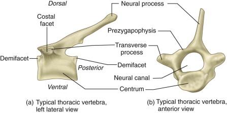 Specimen B Thoracic Vertebra
