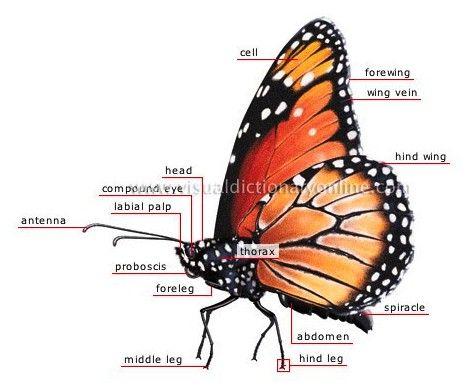 Specimen M Butterfly