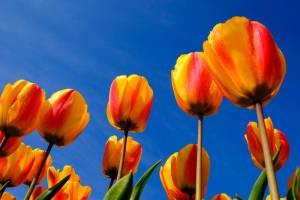tulpen, voorjaar, lente