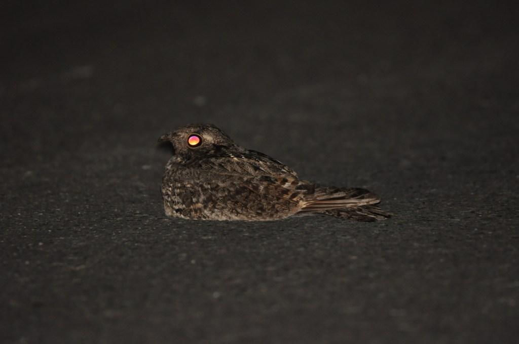 台灣夜鷹公鳥