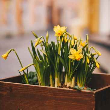 daffodils in box