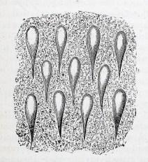 An engraving of a view through a microscope.