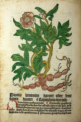 Colored woodcut showing a bushy plant with handlike leaves, large flowers and roots that resemble sausages.