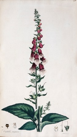 Colored botanical illustration of a foxglove plant.