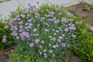 A plant with purple blossoms