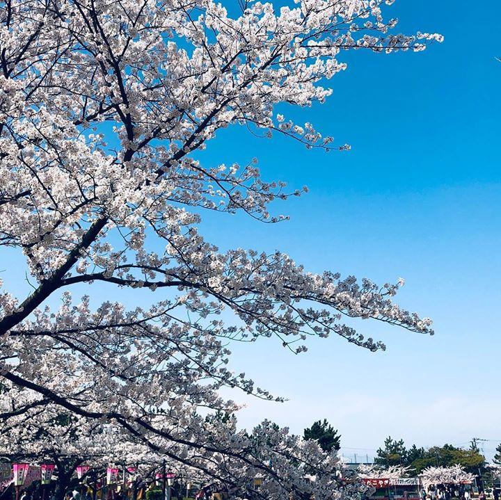 満開の桜の下で、母とお弁当を食べながらお花見🌸