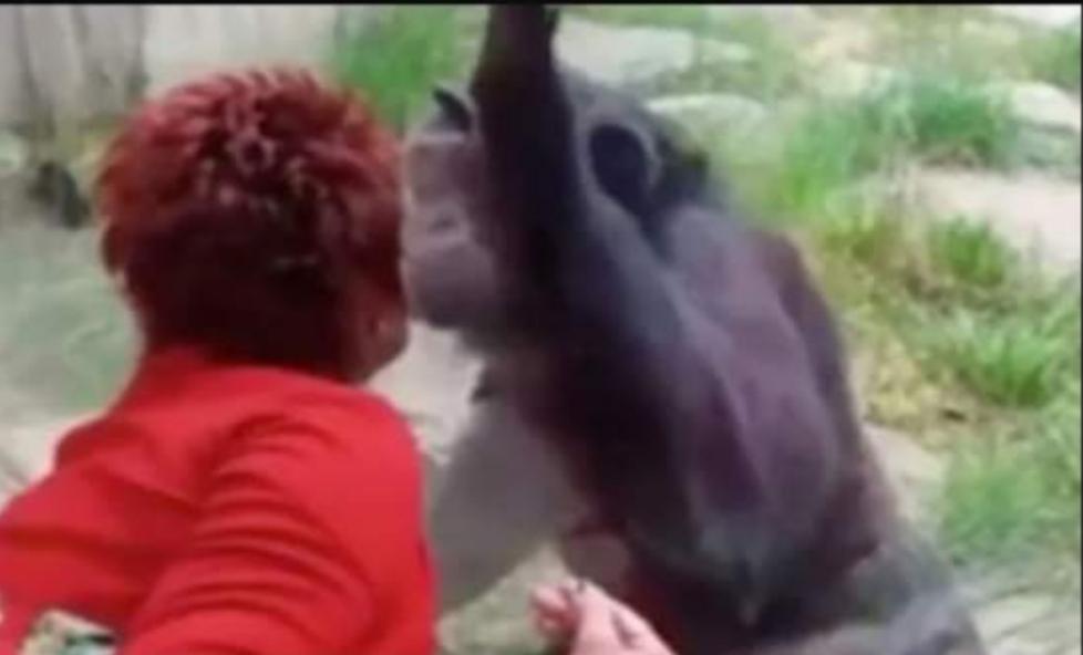 Gruaja përjashtohet nga Kopshti Zoologjik, pati aferë dashurie me shimpanzenë