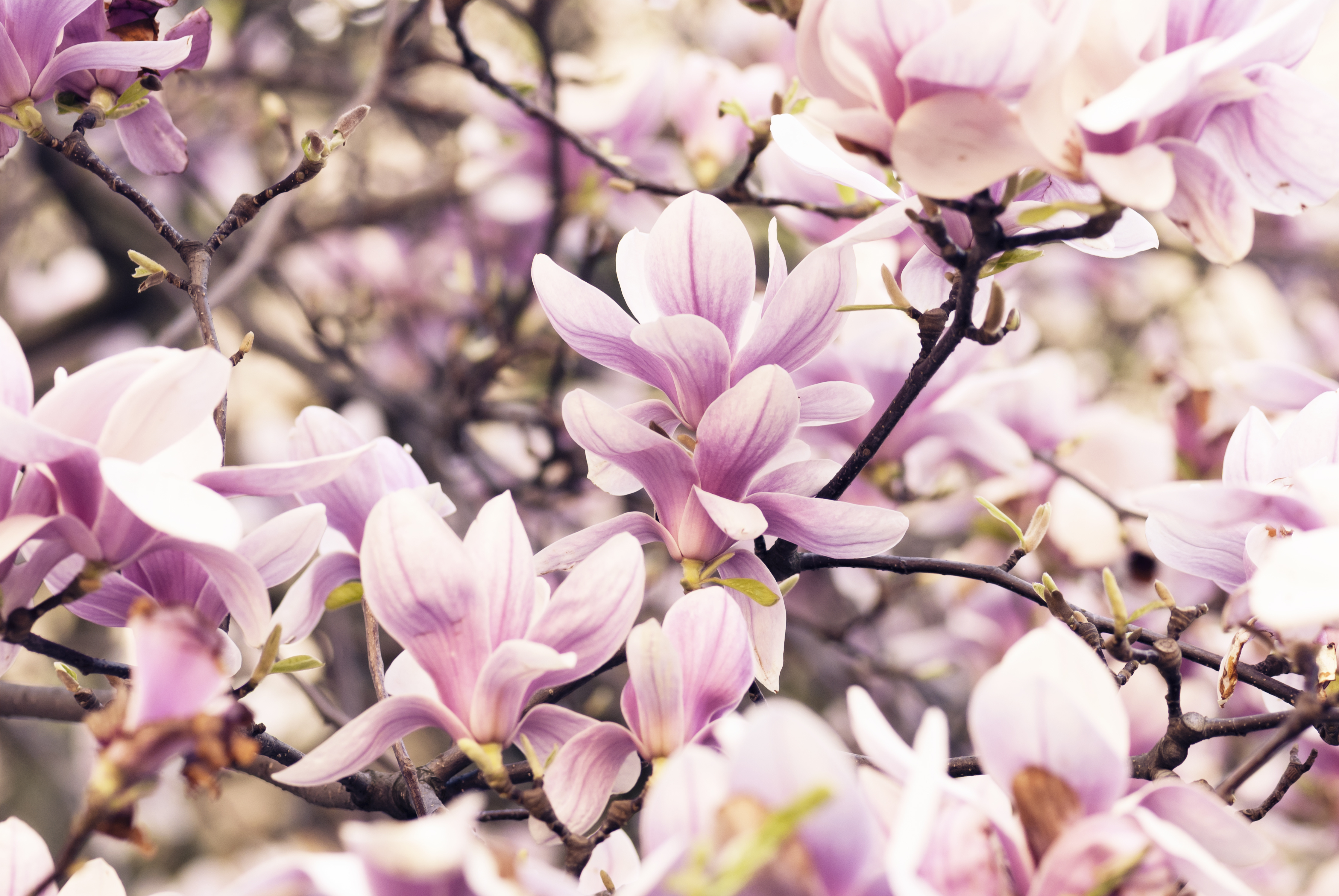 Magnolia and Its Effect on Cannabinoid Receptors