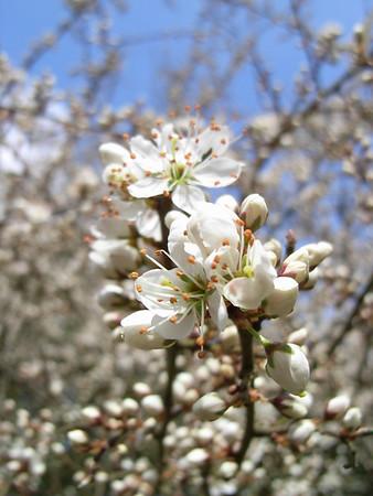 Hawthorn in bloom, Berkshire, March 2009
