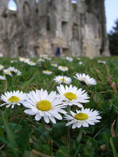 Daisy from Old Wardour Castle, near Salisbury.