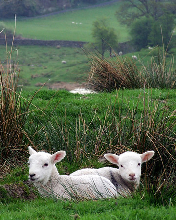 A pair of lambs nestling in a hole, somewhere in the Lake District (vagueness is not me being coy; I honestly dont really know.)